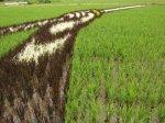 Rice_Field_Art_09